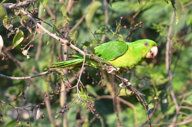 Green Parakeet 2