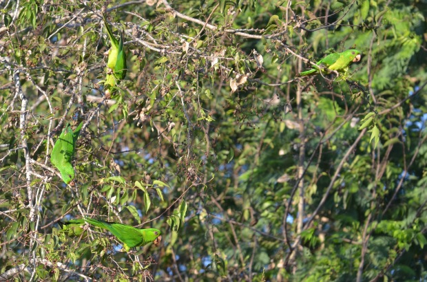 Green Parakeet Flock