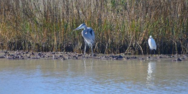 Great Blue Heron and Snowy Egret
