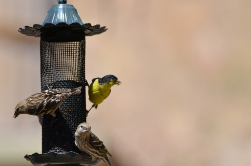 Pine Siskins and Goldfinch