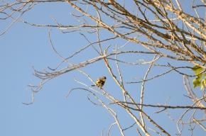 Yellow-Dumped Warbler (Audubon's)