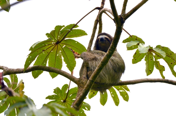 Male three-toed sloth