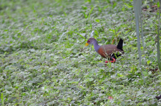 Gray-cowled Wood Rail