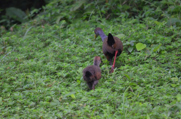Gray-cowled Wood Rail adult and juvenile