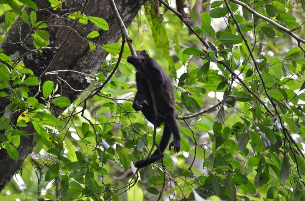 Mantled Howler Monkey - juvenile Panama Pipeline Road