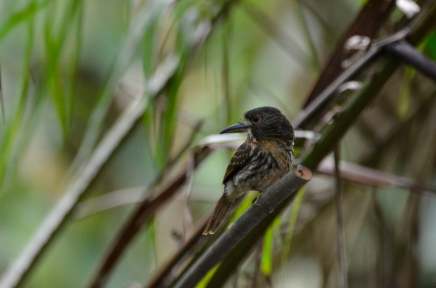 White whiskered Puffbird female