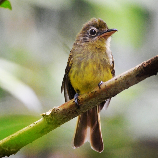 Olivaceous Flatbill Panama Pipeline Road