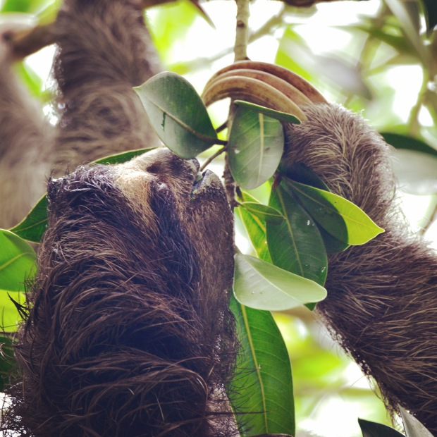 Sloth at Canopy Tower