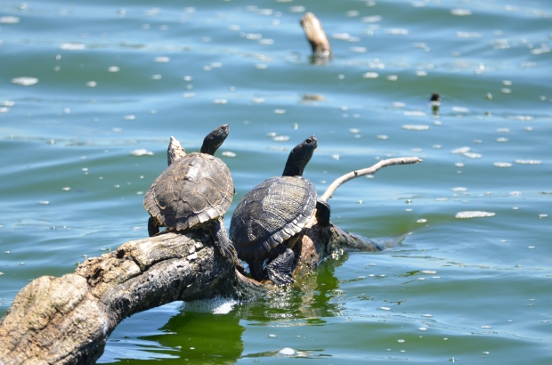 Sliders Turtles Hornsby Bend Austin Texas