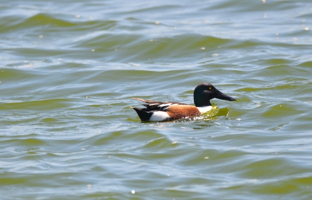Northern Shoveler Hornsby Bend Austin Texas