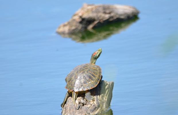 Red-eared Slider Hornsby Bend Austin Texas