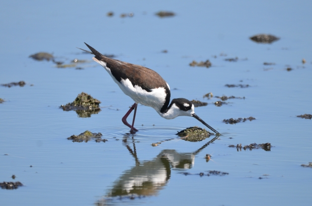 Black-necked Stilt Hornsby Bend Texas