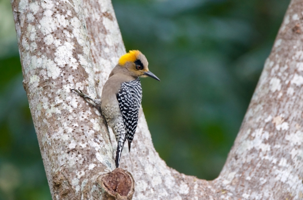 Golden-cheeked Woodpecker female