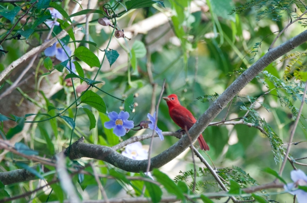 Summer Tanager El Tuito Mexico