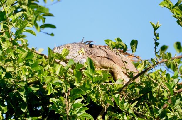 Iguana Puerto Vallarta