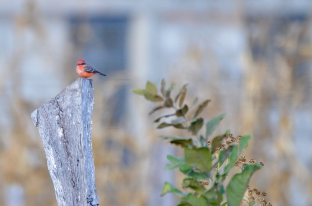 Vermillion Flycatcher San Sebastian Mexico