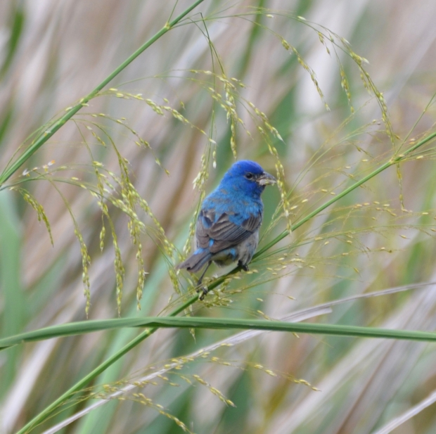 Indigo Bunting (male) High Island Texas