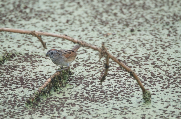 Swamp Sparrow Anahuac NWR