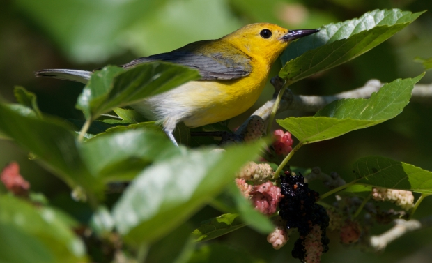Prothonotary Warbler (female) High Island Texas
