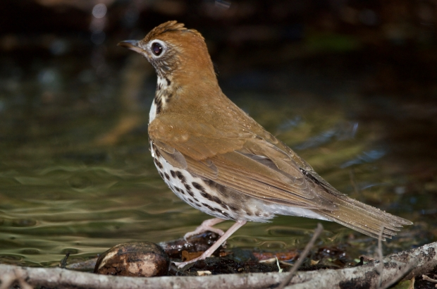 Wood Thrush High Island Texas