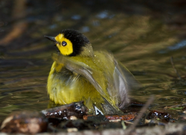 Hooded Warbler (male) High Island Texas