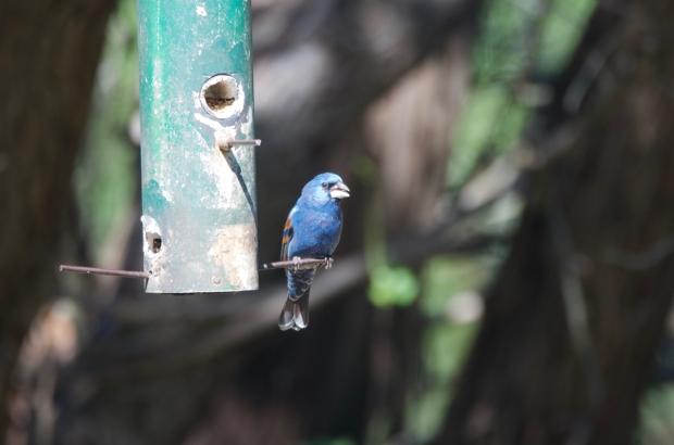 Blue Grosbeak Lost Maples Texas