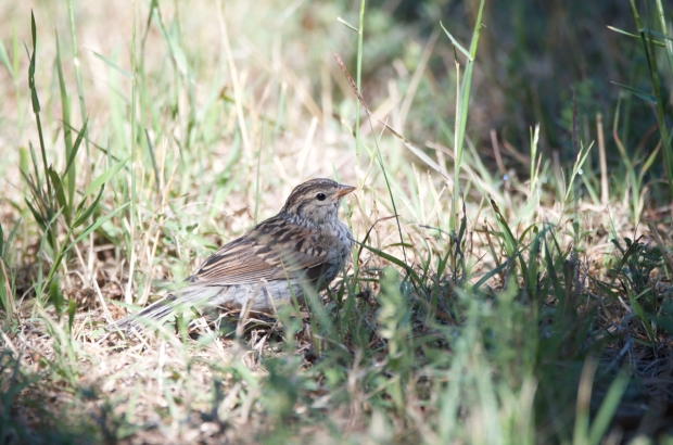 Cassin's Sparrow Lost Maples Texas