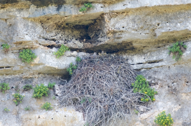 Red-tailed Hawk chicks in nest Lost Maples Texas