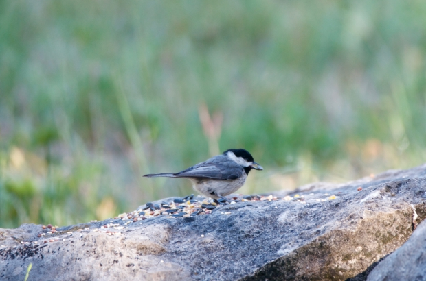 Carolina Chickadee Lost Maples Texas