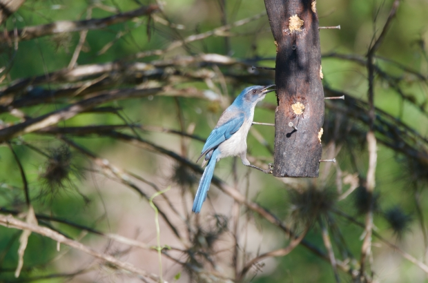 Woodhouse Scrub Jay Lost Maples Texas