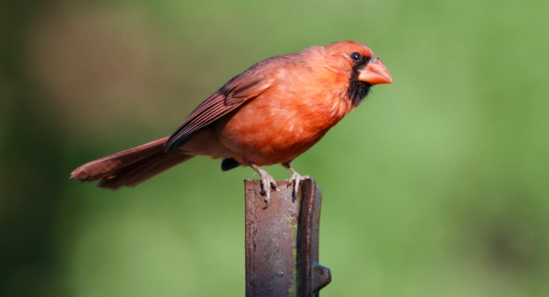 Northern Cardinal Lost Maples Texas
