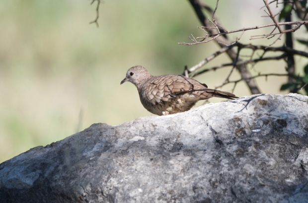 Inca Dove Lost Maples Texas