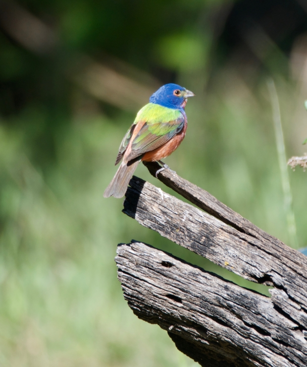 Painted Bunting Lost Maples Texas