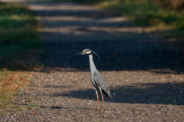 Yellow-crowned Night Heron Brazos Bend Texas