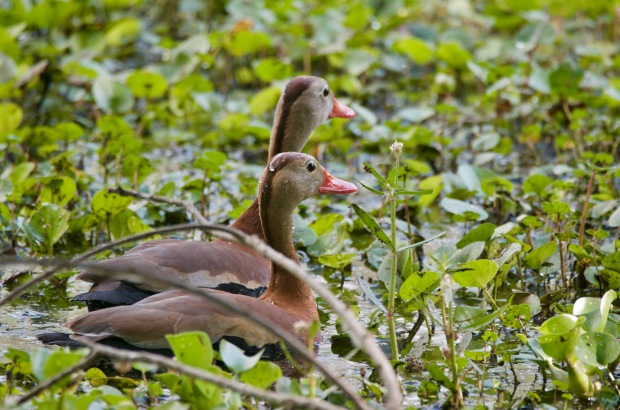 Black-bellied Whistling Ducks Brazos Bend State park