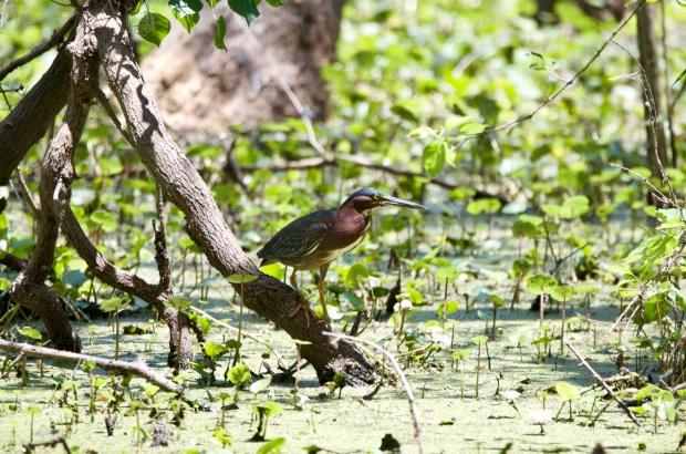 Green Heron Brazos Bend State park