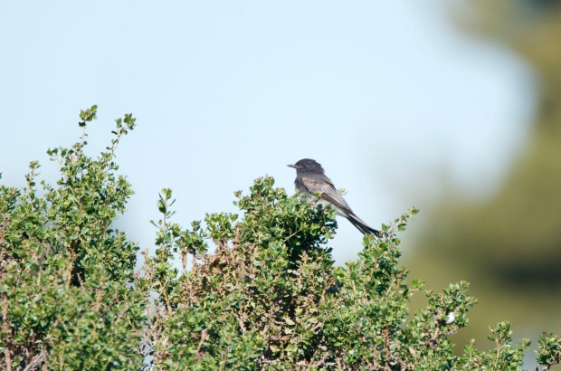 Black Phoebe Shoreline Park California