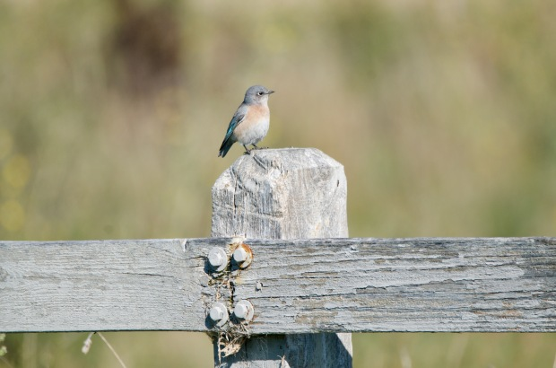 Western Bluebird Shoreline California