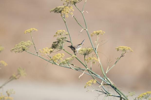 Yellow-rumped Warbler Shoreline California