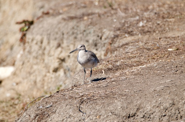 Western Willet Shoreline Park California
