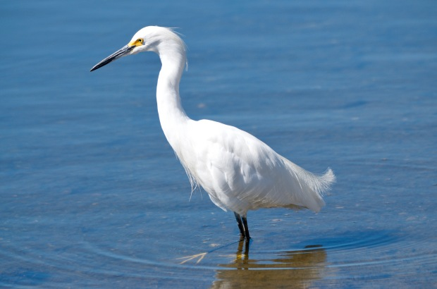 Snowy Egret Shoreline Mountain View
