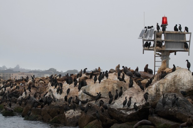 Double-crested Brandt's Cormorants and California Sea Lions