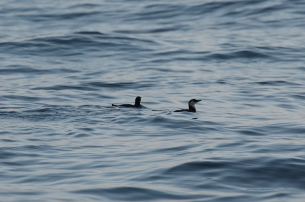 Common Murre (immature)
