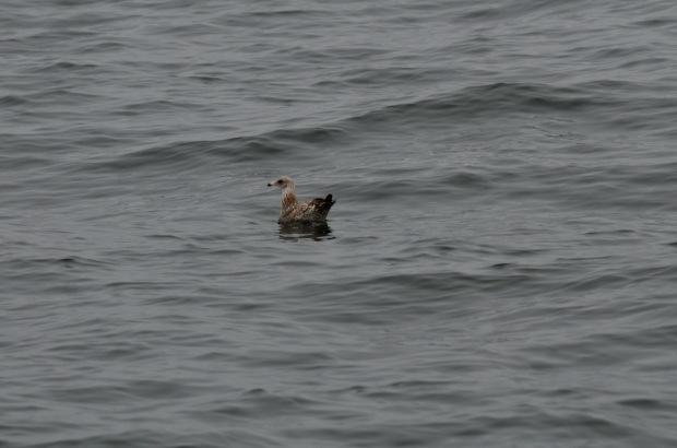 California Gull (immature)