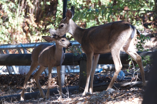 Mule Deer and fawn