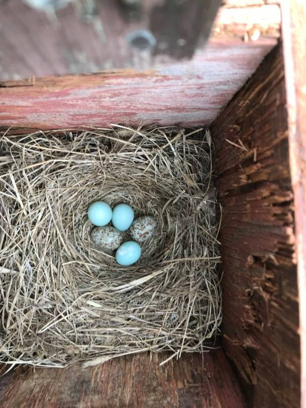 Eastern Bluebird nest with cowbird eggs