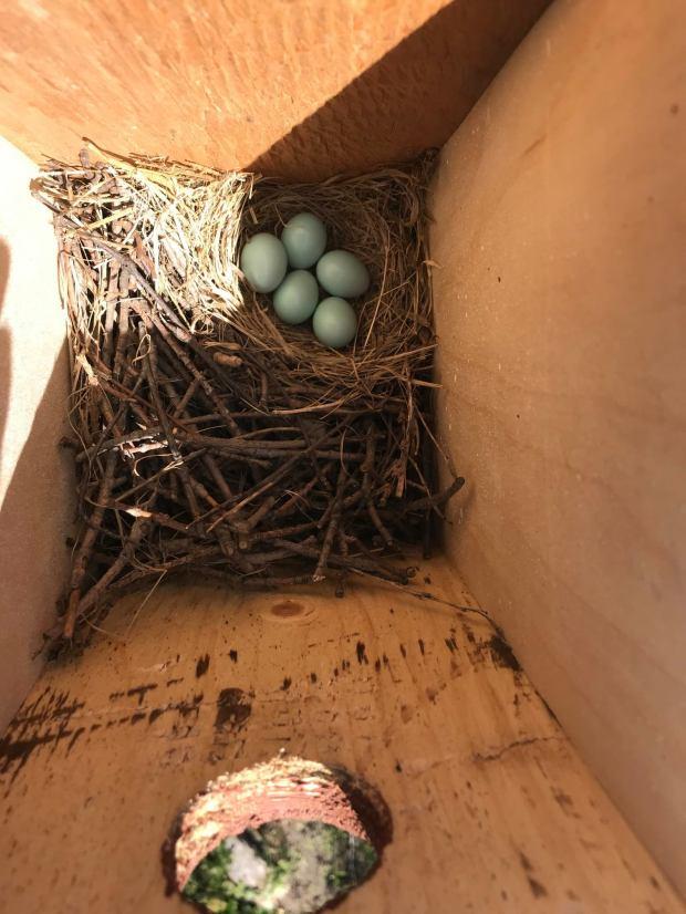 Bluebird nest 2