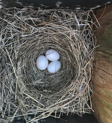 Eastern Bluebird nest box 2