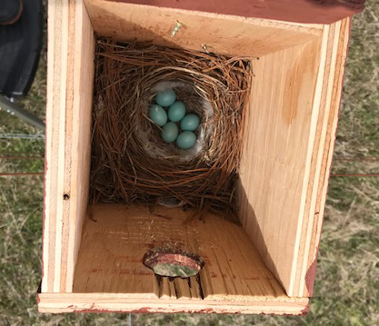Eastern Bluebird nest 1