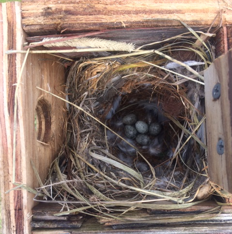 House Sparrow nest